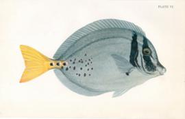 Yellow Tailed Sugeonfish
